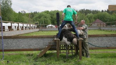 Экстремальное катание на страусах для двоих