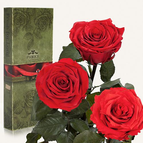 Долгосвежая роза «Алый рубин»